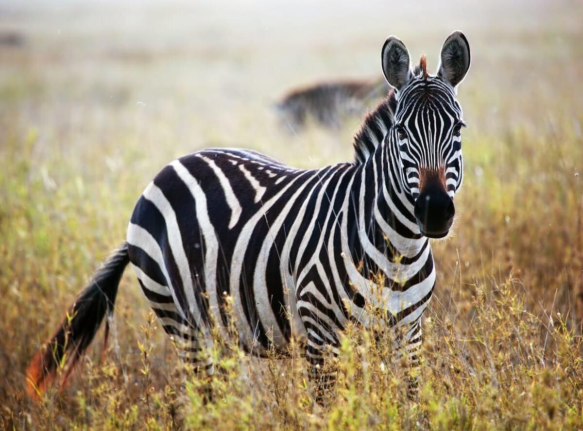 Zebra on African