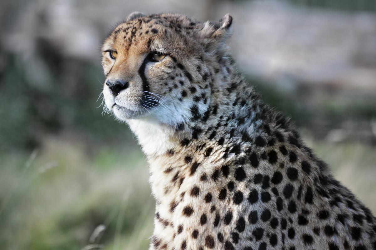 Elegant Cheetah