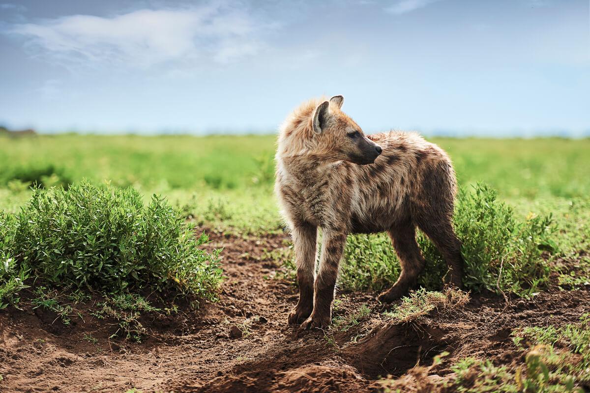 hyena on Savannah